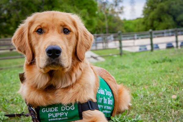A golden retriever guide dog puppy sitting on a green lawn and looking into the camera.