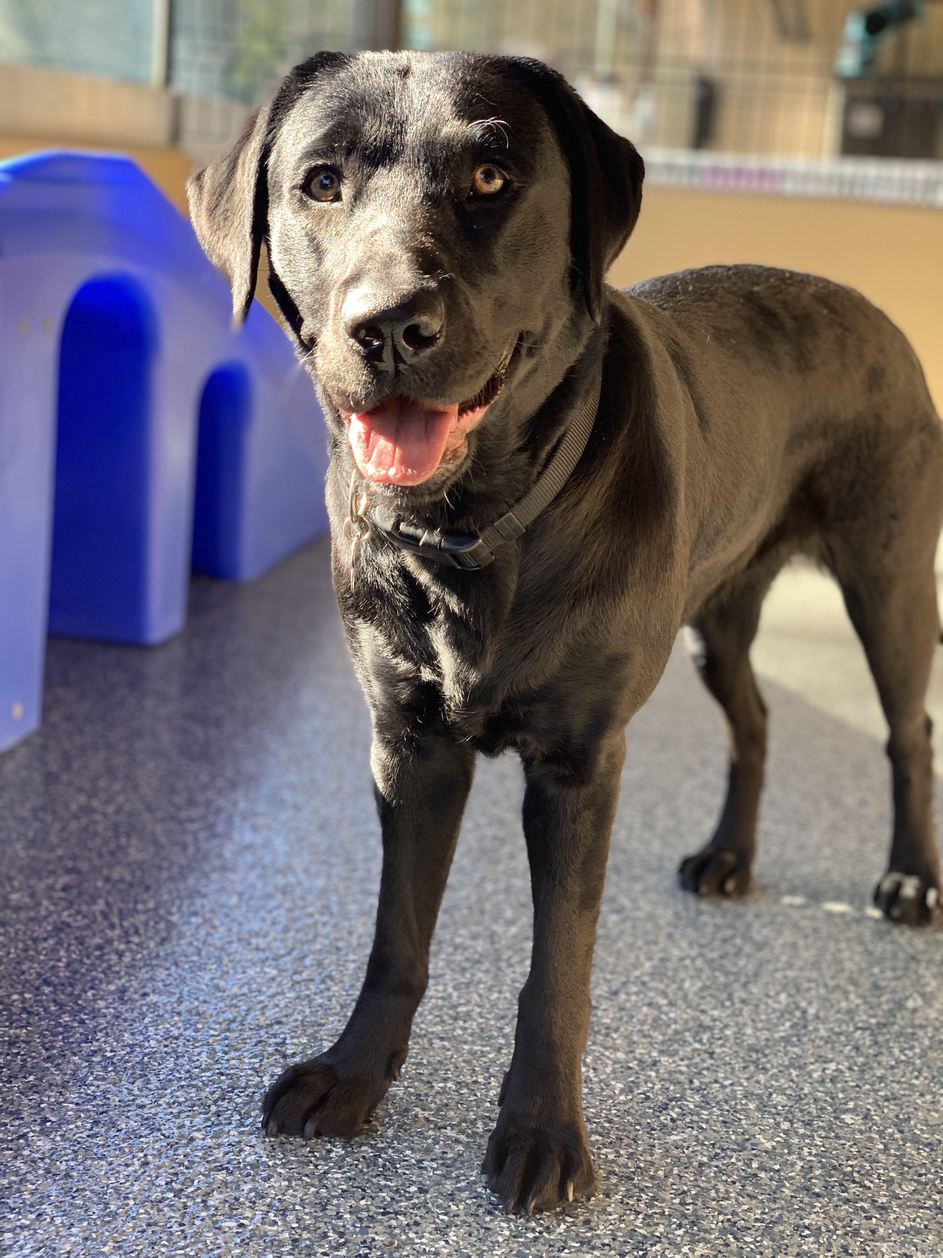 Female black Lab standing in the sun in a secure indoor play yard.