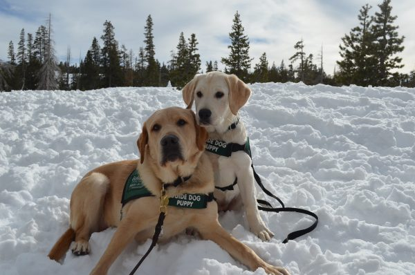 Two yellow Lab guide dog puppies in training sit together in the snow on a bright day.