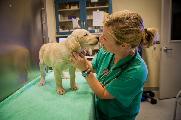 Veterinarian standing nose to nose with a yellow Lab puppy on the exam table.