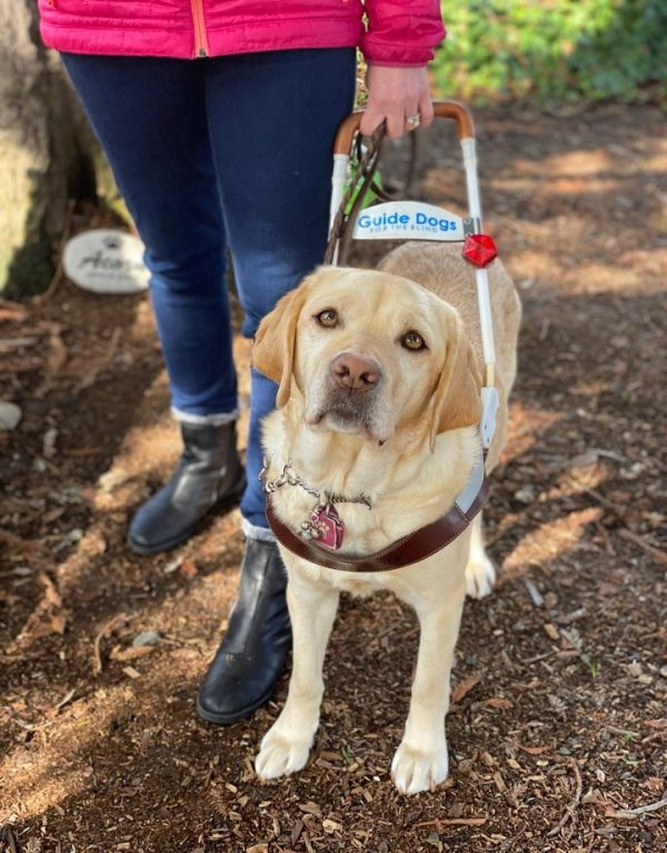 Yellow Lab guide dog in harness.